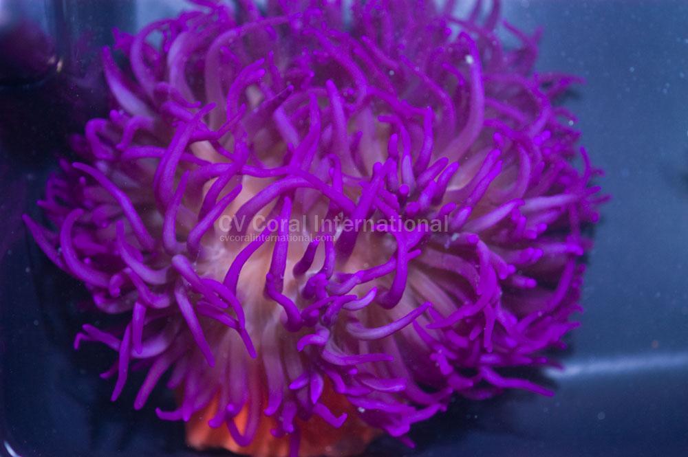 purplelongtentacleanemone@IA